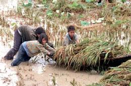 Khổ từ bé, người nông dân chưa bao giờ được đền bù cho xứng đáng. AFP