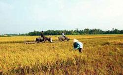 Nông dân trong một lần gặt lúa vụ Đông Xuân ở ĐBSCL. Photo By Bay Van Tran.