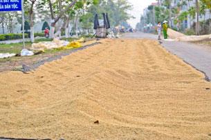 Lúa đôi khi phải phơi trên đường.