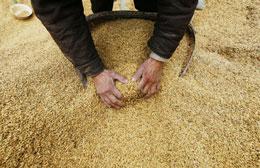 Lúa gạo sản xuất nhiều lúc không còn kho chứa bị hư hại phải bán thốc bán tháo..AFP