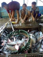 Nông dân cũng không thiết tha trong việc nuôi cá tra khi đầu ra không còn hấp dẫn.AFP