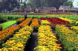 Một khu vực trồng hoa phục vụ cho chợ Hoa ngày Tết ở ngoại ô Saigon. RFA
