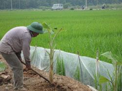 Một cánh đồng lúa ở ngoại thành Hà Nội hôm 15 tháng 09 năm 2011. RFA PHOTO.