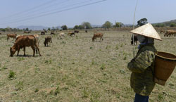 Một nông dân chăn bò trên một cánh đồng khô hạn hôm 12/3/2013. AFP photo