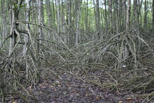 Hệ sinh thái rừng ngập mặn giúp chắn gió, hạn chế xói lở...RFA