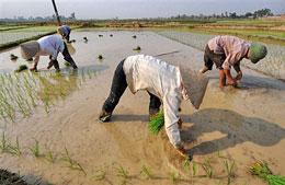 Mùa cấy lúa ở Đồng Bằng Sông Cửu Long. AFP
