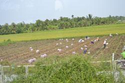 Người dân ở Tiền Giang trồng hoa màu xen kẽ với lúa, ảnh chụp ngày 08-04-2011. RFA PHOTO.