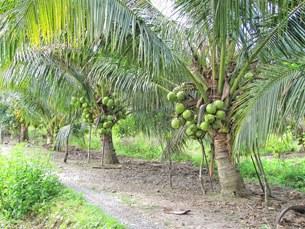 Những cây dừa đặc trưng vùng Bến Tre