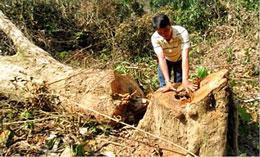 Nạn khai thác những cây gỗ lớn tại khu vực rừng đầu nguồn khe Sến vào năm 2012. (baophapluat.vn)