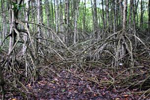 Một khu rừng đước ở vùng Cà Mau. RFA