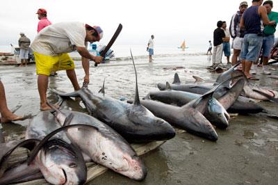 Cá mập bị giết chỉ để lấy vi. AFP