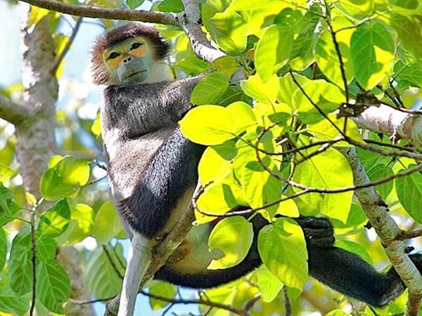 Vượn đen má vàng, nằm trong danh mục nguy cấp của sách đỏ Việt Nam và thế giới.