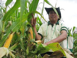 Cây bắp biến đổi gien.  Photo Nguyen Tien/nld.com