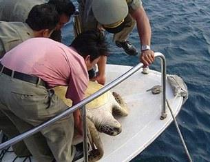 Rùa biển bị người dân đánh bắt được thả về vịnh Nha Trang