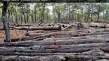 Hàng ngàn hec ta rừng tiếp tục bị tàn phá để trồng cao su