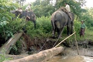 Việc khai thác gỗ ở vùng biên giới không kiểm soát được, voi được sử dụng đề kéo gỗ ở vùng biên giới Lào.