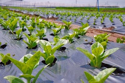 Những luống rau sản xuất theo quy trình của VinEco-Tập đoàn Vingroup tại cánh đồng mẫu ở Long Thành Đồng Nai