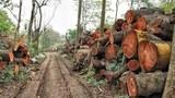 Bãi tập kết hàng ngàn cây đã bị đốn hạ