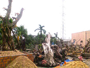 Hàng trăm gốc đại thụ từ rừng bị bứng về Quy Nhơn. Courtesy báo Bình Định