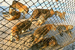 Loài hổ Siberian được nuôi tại Harbin, Trung Quốc hôm 01.01.2008. AFP Photo/Teh Eng Koon Credit.