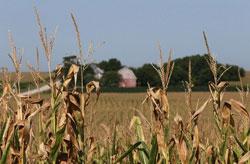Một cánh đồng bắp khô cháy tại tiểu bang Iowa, Hoa Kỳ hôm 07/8/2012. AFP photo