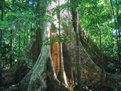 Một gốc cây cổ thụ trong Khu dự trữ sinh quyển Đồng Nai. Photo courtesy of