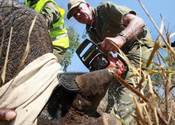 Bác sĩ cắt sừng tê giác tại Vườn quốc gia tại Zimbabwe. Quỹ Động vật Hoang dã (WWF) và Công viên quốc gia Zimbabwe hợp tác ngăn chặn nạn săn trộm sừng tê giác. AFP