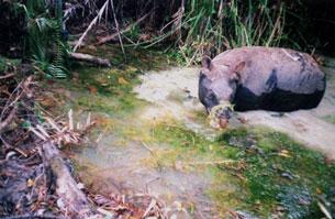 Tê giác Java tại VQG Cát Tiên chụp bằng hệ thống máy ảnh gắn cảm biến hồng ngoại.(2005) Screen capture from WWF