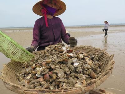 Một người phụ nữ huyện Kỳ Anh, Hà Tĩnh thu gom nghêu chết trên bãi biển hôm 27/4/2016. AFP photo