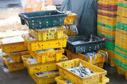 Cá vừa được thu mua của ngư dân tại Bến Cá Bình Thạnh, Quảng Ngãi hôm 05/07/2011. RFA PHOTO.