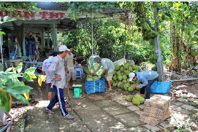 Thu hoạch trái cây ở một miệt vườn miền Tây Nam Bộ