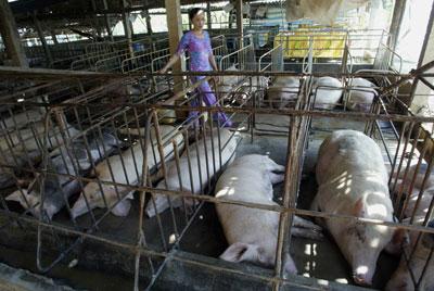 Một trại chăn nuôi heo ở Vĩnh Long. AFP