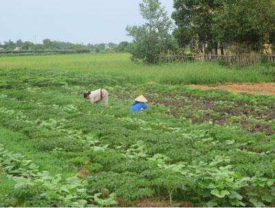Người nông dân bên vạt đất khô tại xã Quảng Thọ - Quảng Điền