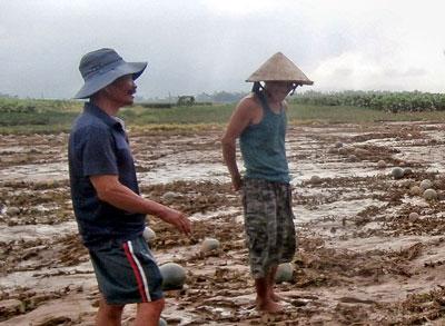 Nông dân Quảng Nam trên cánh đồng dưa bị ngập úng