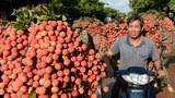 Việt Nam đồng ý cho 190 thương nhân Trung Quốc vào thu mua vải thiều