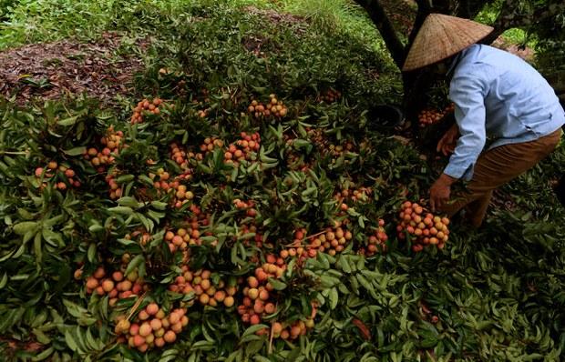 Thu hoạch vải tươi tại Quận Thanh Hà, tỉnh Hải Dương.