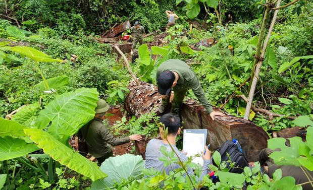 Nhân viên bảo vệ rừng cầm đầu đường dây khai thác, vận chuyển lâm sản trái phép