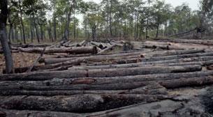 Quang cảnh phá rừng do tập đoàn HAGL, trong phim tài liệu của Global Witness- GW documentary film