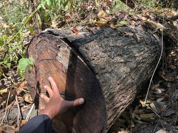 Đray Sáp: Nhiều gỗ quý bị đốn hạ nhưng đơn vị quản lý nói chỉ có 1 cây