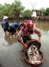 Nông dân thâu hoạch cá tra tại một hồ nuôi cá ở miền Bắc. AFP