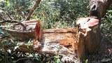 Hơn 170 cây gỗ trong rừng đặc dụng Mường Phăng bị chặt