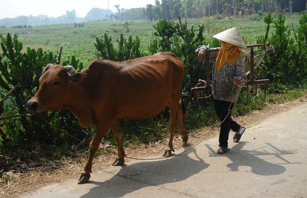 Tiêu hủy gần 10.000 trâu bò vì bệnh viêm da nổi cục
