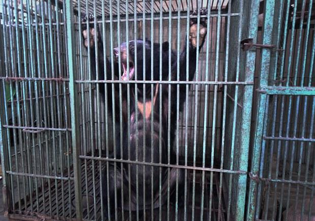 Gần 400 con gấu bị nuôi lấy mật ở Việt Nam