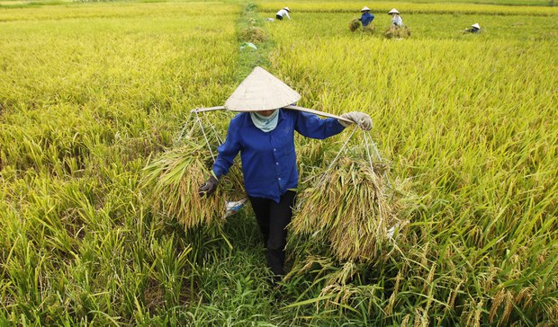 Hạn mặn đe doạ 1 triệu ha lúa Đồng Bằng Sông Cửu Long