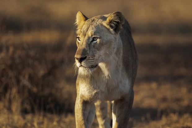 Cảnh sát Nam Phi bắt một người VN,thugiữ 60kg móng vuốt sư tử