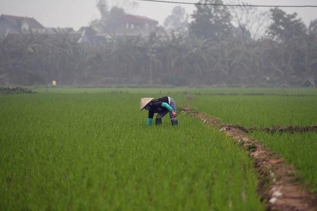 Gạo ngon ST25 bị nhượng bản quyền cho Nhà nước