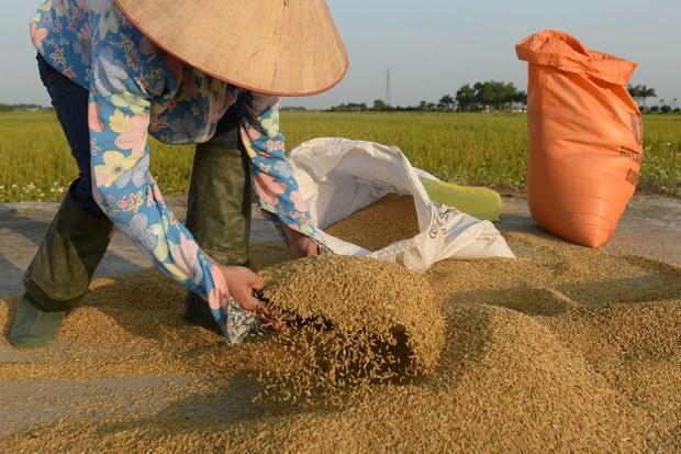 Minh họa: Người nông dân thu hoạch thóc vàng.