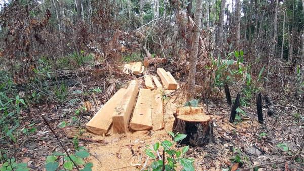 Bắt giam chủ tịch công ty phá rừng ở Gia Lai