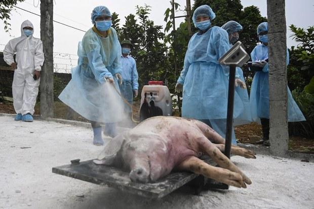 Nhà nước hỗ trợ ngân sách phòng, chống dịch tả lợn Châu Phi