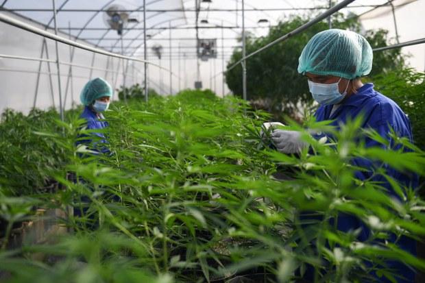 Hai người Việt Nam bị phạt tù về tội trồng và sản xuất cần sa tại Anh